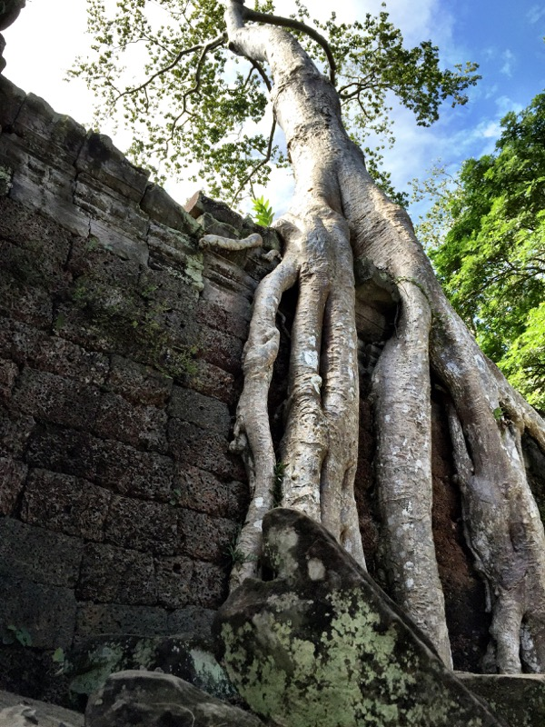 Tree covering the temple at Ta Prohm