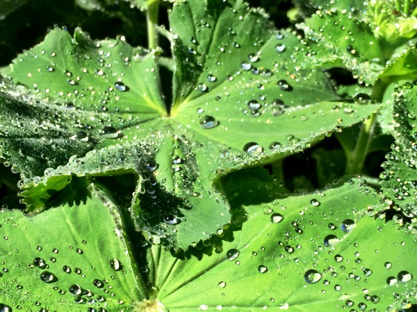 Lady's mantle with some morning dew